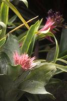 Closeup of Plant from jungle Achmea Primera Bromeliad. Amazonia, Ecuador