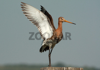 Uferschnepfe in Holland, Limosa limosa, Black-tailed godwit, Netherlands