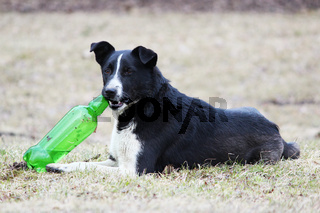 Black and white dog lies on the grass and tries to open a plastic green bottle with lemonade.