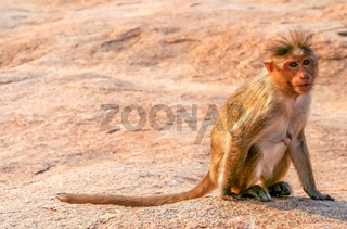 Small wild macaque monkey