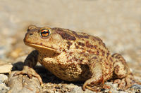 female common brown toad close up