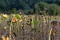 Verwelkte Sonnenblumen