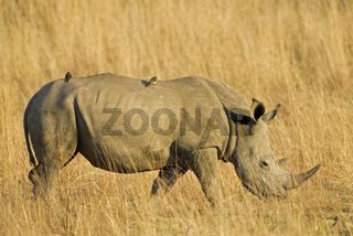 Breitmaulnashorn, Weisses Nashorn (Ceratotherium simum), Pilanesberg Nationalpark, Suedafrika, Afrika, White Rhinoceros or Square-lipped rhinoceros, Rhino, South Africa