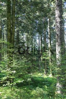 Mischwald mit Naturverjüngung