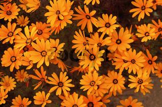 Frühlingsblumen Ursinia cakilefolia