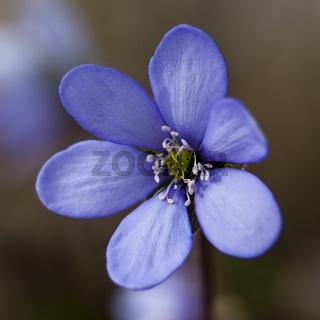 Leberblümchen (Anemone hepatica) / liverwort (Anemone hepatica)