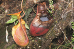 Nepenthes villosa-Villosa Pitcher Plant-Malaysia