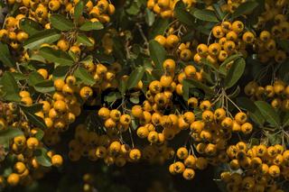 Gelber Feuerdorn (Phyracantha coccinea)