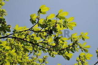 Zweige der Rosskastanie