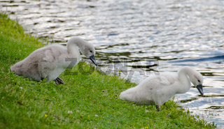 Two young cygnets of mute swan