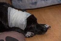 Am Kopf verletzter Hund hat einen Verband mit Bandagen