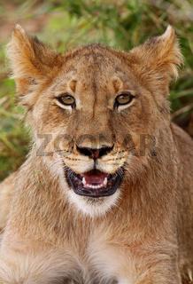 Kalahari-Löwe im Kgalagadi Transfrontier National Park, Südafrika; lion in south africa