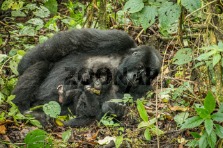 Baby Mountain gorilla laying with his mother in the leaves.