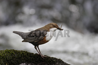 Wasseramsel, Cinclus cinclus, white-throated dipper