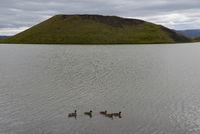 Enten auf dem Myvatn, Island