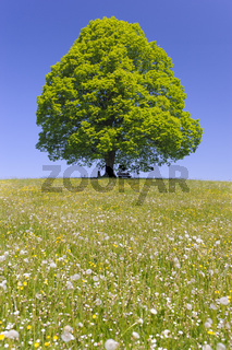 single big linden tree in field with perfect treetop