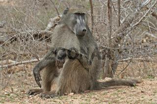 Pavian, sitzend, Krugerpark Südafrika