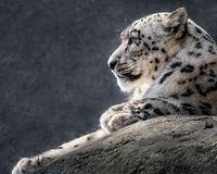 Snow Leopard XXXI