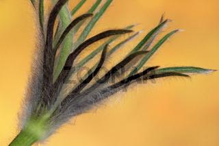 Kuechenschelle (Pulsatilla vulgaris)
