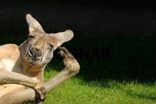 Kangaroo in hilarious posture