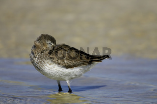 Alpenstrandlaeufer, Calidris alpina, Dunlin, Fort de Soto, Mullet Key, Florida, USA