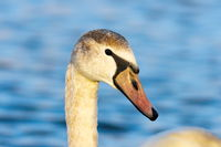 beautiful portrait of mute swan over blue out of focus background ( Cygnus olor )