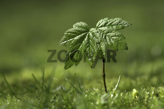 Junger Ahorntrieb, Acer, young Marple Tree, sprout