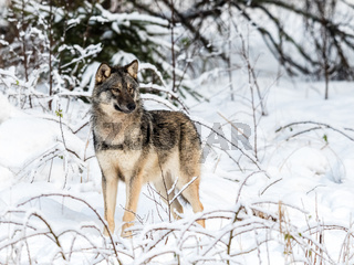 Gray wolf, Canis lupus, standing towards camera, looking right, in a snowy winter forest.