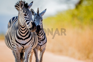 Two Zebras bonding in the Kruger.
