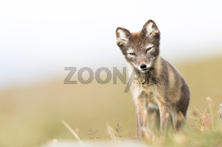 Curious young arctic fox standing and looking into camera Svalbard