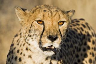 Gepard (Acinonyx jubatus), Namibia, Afrika, cheetah, Africa, Portrait