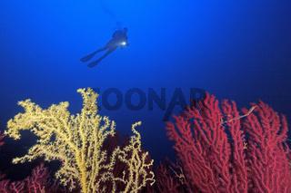 Taucher, rote, gelbe Strauchkoralle, Paramuricea clavata, Gerardia savaglia, Scuba diver with colorful gorgonians