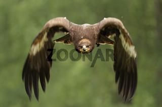 Steinadler (Aquila chrysaetos); Golden Eagle (Aquila chrysaetos)