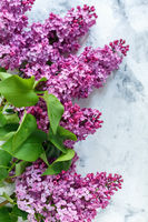Flowering branches of lilac.