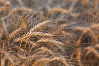 Wheat field detail