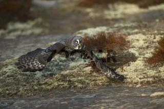 bodennaher Flug... Bartkauz *Strix nebulosa* fliegt dicht über den Boden