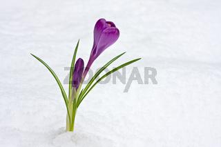 detail of purple crocus flowers