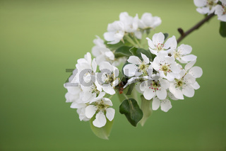Birne, Bluete, Pyrus communis, Pear, Blossom, Deutschland, Germany