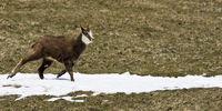 junge wilde Gämse im Frühling auf Nahrungssuche