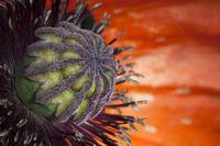 Poppy plant inside