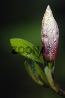 Magnolia im Regen