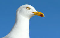 A seagull sea bird close up.