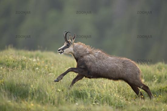 Galoppsprung... Gämse *Rupicapra rupicapra*