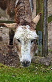Esel schaut durch einen Holzzaun