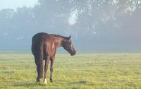 horse on misty pasture