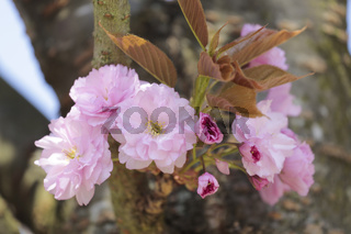 Zierkirsche (Prunus)