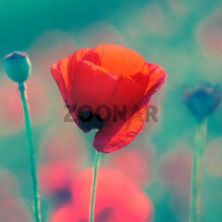 Red poppy on the meadow