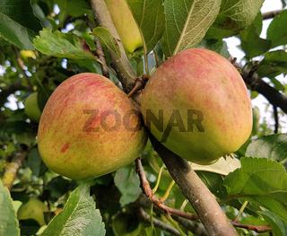 Finkerwerder Herbstprinz, Alte Apfelsorten, Apfel, Malus, domestica, Aepfel