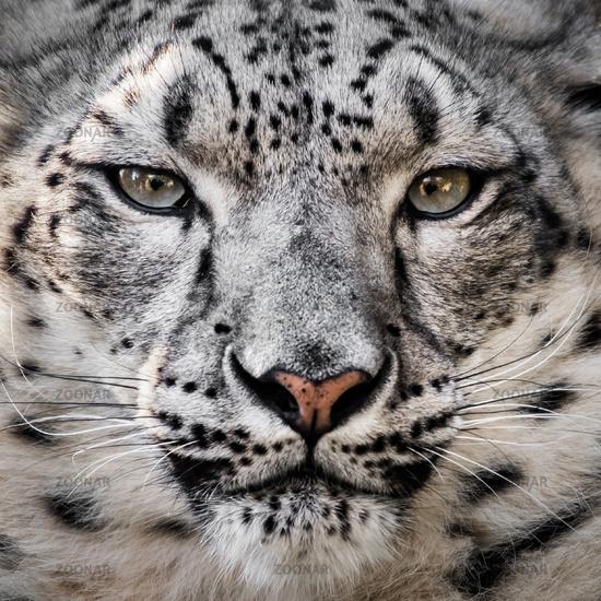Snow Leopard XXVI