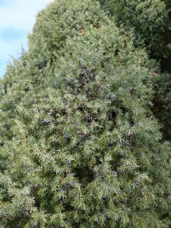 Juniperus communis, Wacholder, juniper